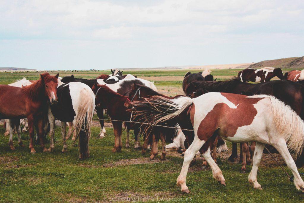 Mongolian horses close up