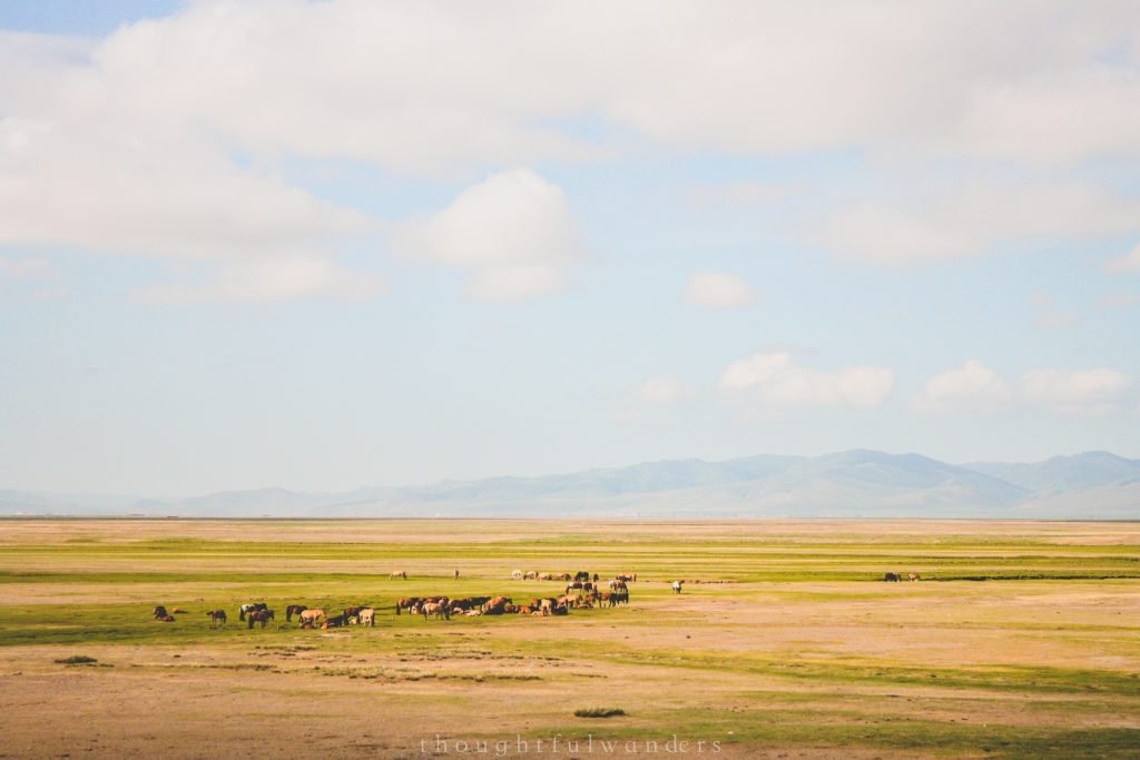 Grazing animals on the Mongolian steppe