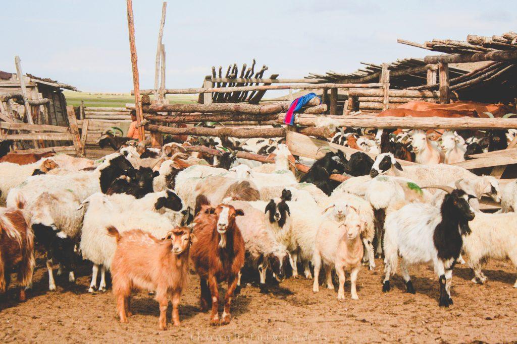 Herd of goats in Mongolia