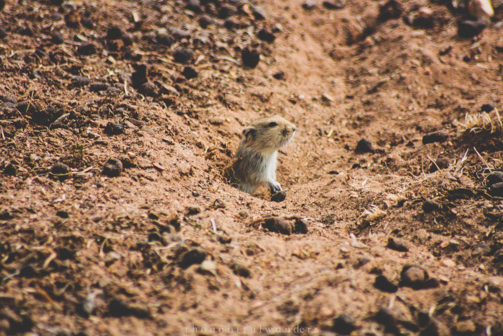 Mongolia underground mole pop it's head out