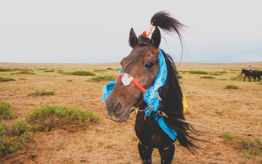 Horse prepared for Naadam festival