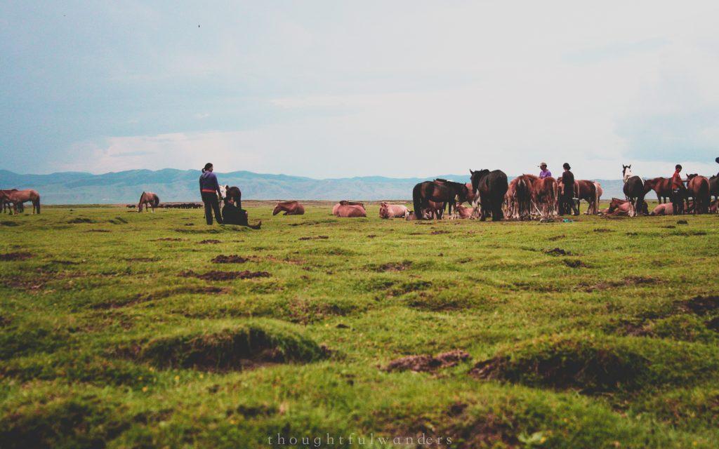 Horse milking time Mongolia