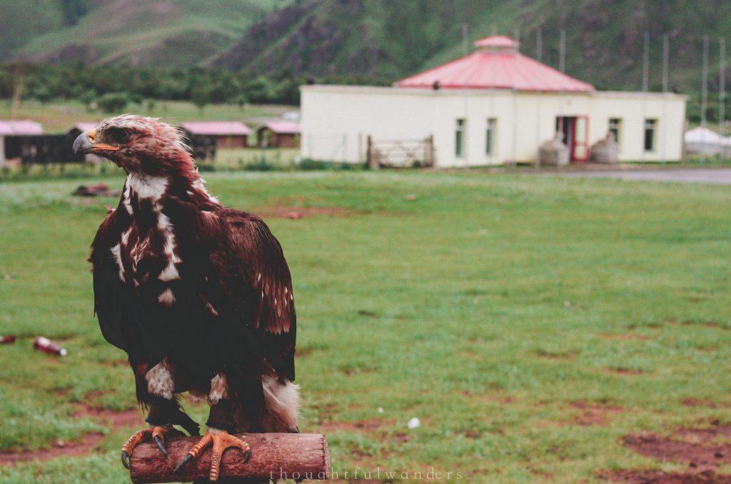 Mongolian eagle or falcon at a tourism spot
