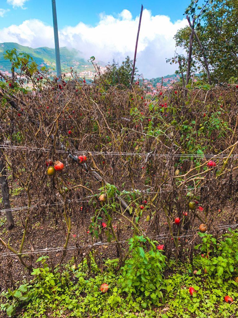 Tomato farm backyard Amalfi Coast Italy