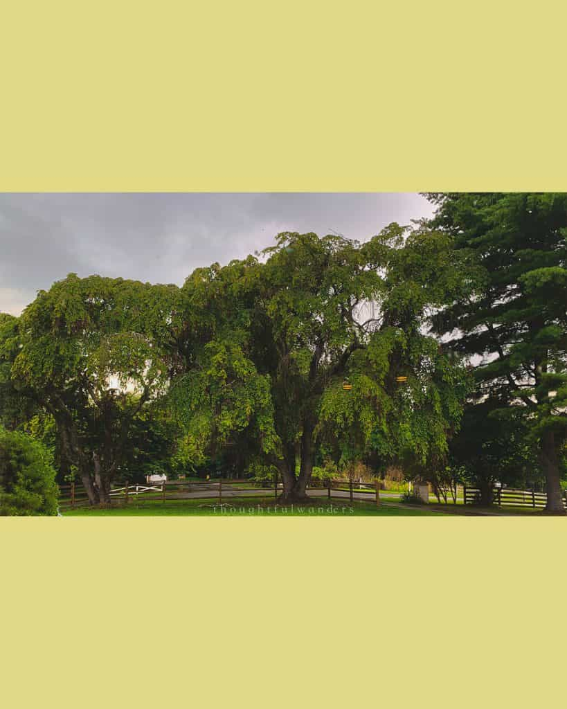 Large green trees against a cloudy sky in suburban Maryland. Photo has yellow borders.