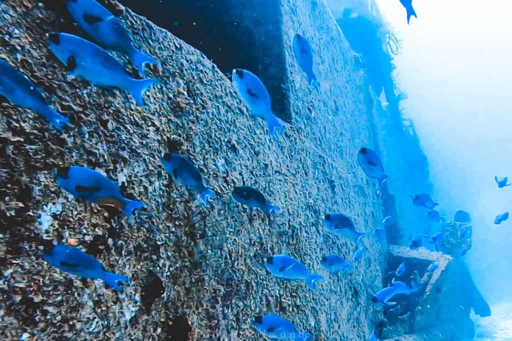 Little blue fish swimming along the wreck site artificial reef in Cozumel