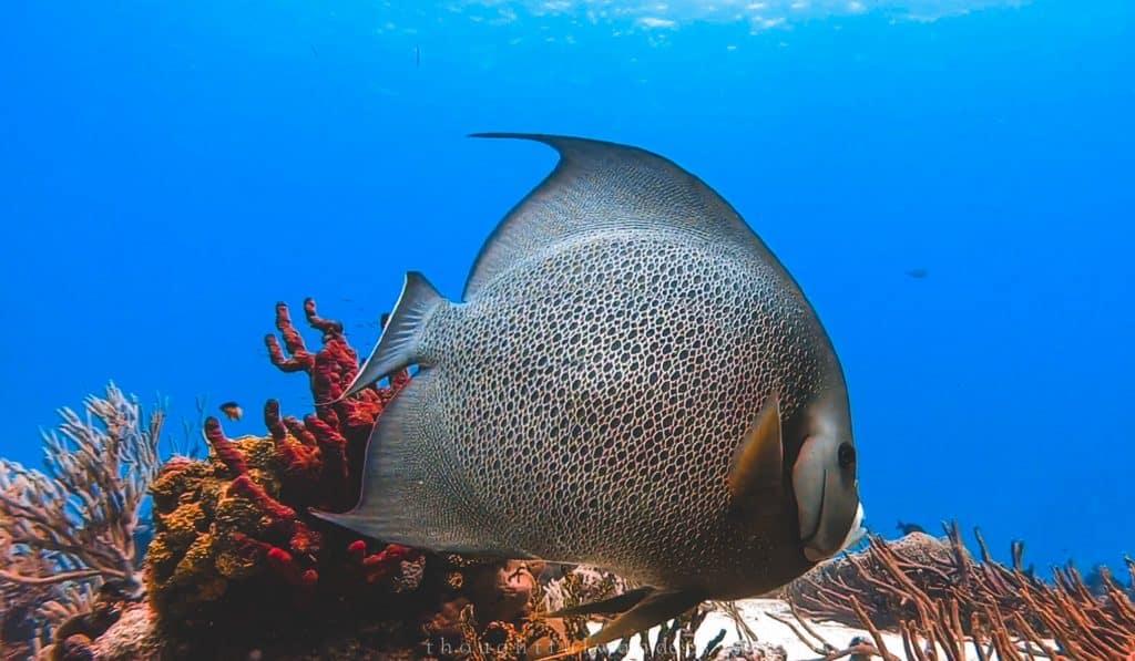 big fish cozumel reef