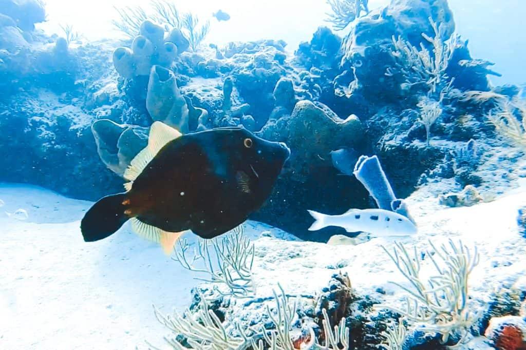 black fish cozumel reef