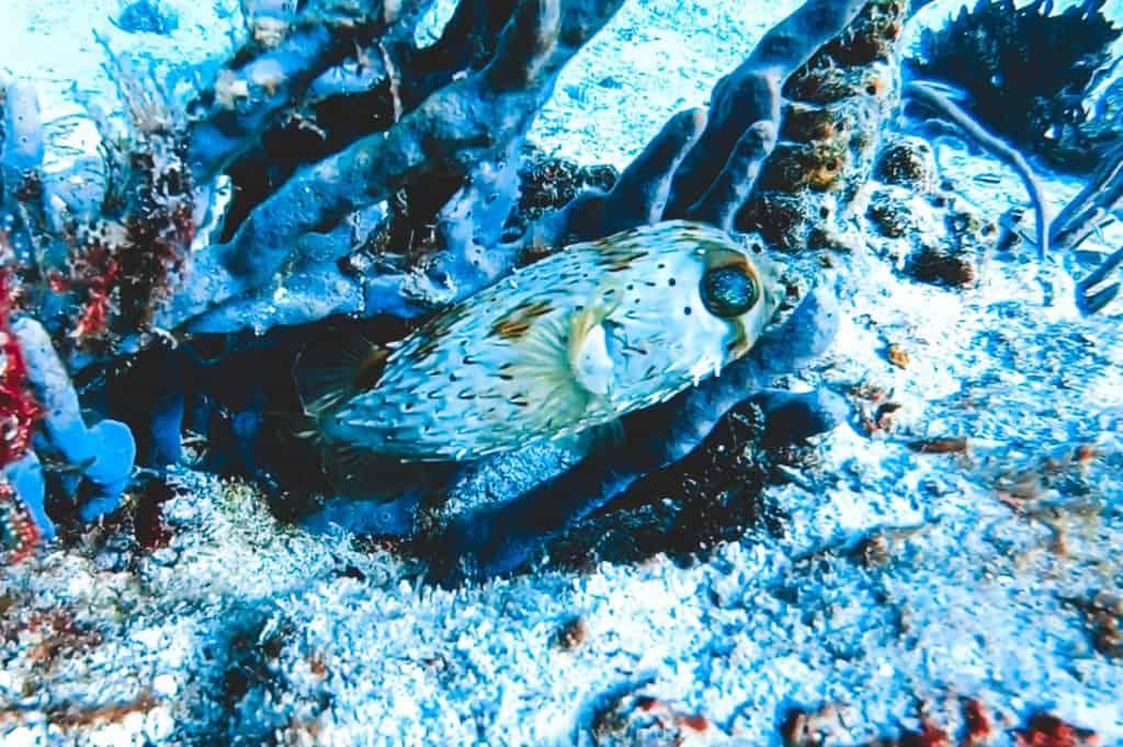 Puffer fish cozumel reef
