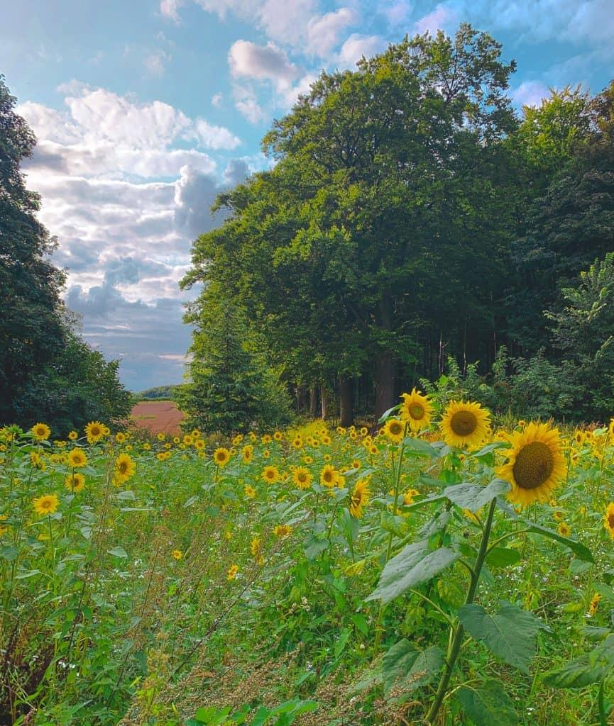 sunflower fields in a lot of greenery